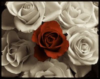 red rose with white roses